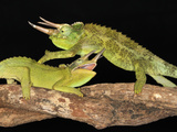 Jackson's Chameleons (Chamaeleo Jacksonii) Fighting, Captive Photographic Print by Michael Kern