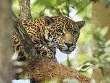 Jaguar Head (Panthera Onca), Belize Reproduction photographique par Thomas Marent