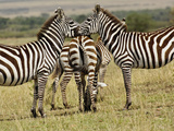 Burchell's Zebra (Equus Burchelli), Masai Mara Game Reserve, Kenya, Africa Photographic Print by Adam Jones