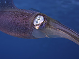 Close Up of the Head and Eye of the Caribbean Reef Squid (Sepioteuthis Sepioidea) Photographic Print by David Fleetham