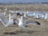 California Gull (Larus Californicus) Colony, San Francisco Bay, California, USA Photographic Print by Michael Kern
