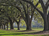 Stately Live Oak Trees Draped in Spanish Moss, Boone Hall Plantation Photographic Print by Adam Jones