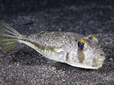The Endemic Randall's Puffer Photographic Print by David Fleetham