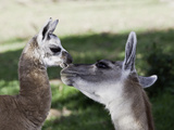 Mother and 10-Day Old Alpaca, (Vicugna Pacos) Photographic Print by David Fleetham