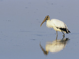 Wood Stork (Mycteria Americana) Photographic Print by Barbara Gerlach