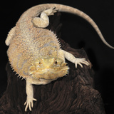 Bearded Dragon (Pogona Vitticeps), Captive Photographic Print by Michael Kern