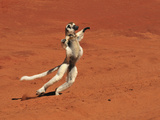 Verreaux's Sifaka Jumping (Propithecus Verreauxi), Berenty Private Reserve, Madagascar Photographic Print by Thomas Marent