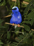Red Legged Honeycreeper (Cyanerpes Cyaneu) Captive, Florida Photographic Print by Adam Jones