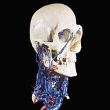 Colored Resin Cast of the Arteries (Red) and Veins (Blue) of the Human Neck and Skull Photographic Print by Ralph Hutchings