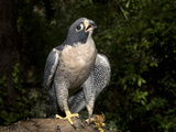 Peregrine Falcon (Falco Peregrinus), Captive Photographic Print by Michael Kern