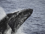 Head Lunge of a Male Humpback Whale (Megaptera Novaeangliae) Photographic Print by David Fleetham