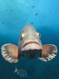 Dusky Grouper (Epinephelus Marginatus), Carall Bernat, Medes Islands, Costa Brava Photographic Print by Reinhard Dirscherl