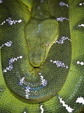 Emerald Tree Boa (Corallus Canina), Captive Photographic Print by Michael Kern