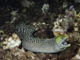 Undulated Moray Eel (Gymnothorax Meleagris) Swimming over a Reef at Night, Hawaii, USA Photographic Print by David Fleetham