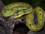 Sedge Viper (Atheris Nitschei), Captive Photographic Print by Michael Kern