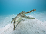 Saltwater Crocodile (Crocodylus Porosus), Queensland, Australia Photographic Print by Reinhard Dirscherl