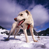 Sled Dog Takes Tourist Out onto the Glacier for the Experience of the Sled Dog Team, Alaska, USA Photographic Print by Paul Andrew Lawrence