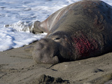 Male Northern Elephant Seal (Mirounga Angustirostris) with Wound from Territorial Dispute Photographic Print by Michael Kern