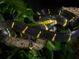 Mangrove Snake (Boiga Dendrophila Melanota), Captive Photographic Print by Michael Kern