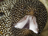 Close Up of a Whitemouth Moray Eel Mouth and Teeth (Gymnothorax Meleagris), Hawaii, USA Photographic Print by David Fleetham