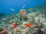 Noble Pen Shell (Pinna Nobilis), Les Ferranelles, Medes Islands, Costa Brava, Mediterranean Sea Photographic Print by Reinhard Dirscherl