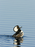 Hooded Merganser (Lophodytes Cucullatus) Courtship Display Photographic Print by Marc Epstein