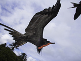 A Male Magnificent Frigatebird (Fregata Magnificens) in Flight over Santa Cruz Island Photographic Print by David Fleetham