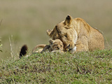 Lioness with Young Cub (Panthera Leo), Masai Mara Game Reserve, Kenya, Africa Photographic Print by Adam Jones