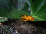 Africa Reed Frog (Hyperolius), Captive Photographic Print by Michael Kern