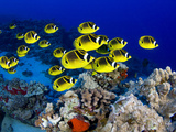 Schooling Raccoon Butterflyfish, (Chaetodon Lunula), Hawaii Photographie par David Fleetham