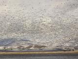 Massive Flock of Snow Geese in Flight, Klamath Basin, Klamath Falls, Oregon Photographic Print by Adam Jones