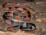 False Coral Snake (Oxyrhopus Rhombifer Rhombifer), Captive Photographic Print by Michael Kern