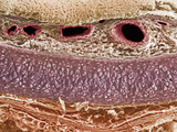 Cross-Section of the Trachea, Showing, Top to Bottom, Epithelium, Basement Membrane Photographic Print by Richard Kessel