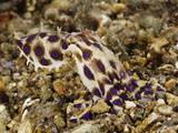 Blue-Ringed Octopus (Hapalochlaena Lunulata), Philippines Photographic Print by David Fleetham