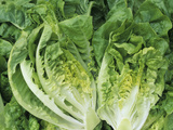 Tasty 'Buttercrunch' Bibb Lettuce (Lactuca Sativa) from a Home Garden Photographic Print by Wally Eberhart