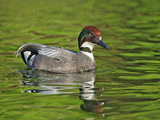 Male Falcated Duck or Falcated Teal, Anas Falcata Photographic Print by Adam Jones