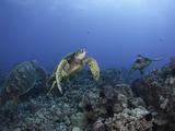 Green Sea Turtles Swimming over a Reef (Chelonia Mydas), an Endangered Species, Hawaii, USA Photographic Print by David Fleetham