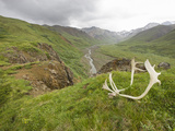 Bull Caribou Antlers (Rangifer Tarandus) on the Tundra, Denali National Park, Alaska, USA Photographic Print by Patrick Endres
