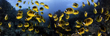 Schooling Raccoon Butterflyfish (Chaetodon Lunula), Lanai, Hawaii, USA, Digital Composite Photographic Print by David Fleetham