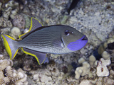 The Male Gilded Triggerfish (Xanthichthys Auromarginatus) Photographic Print by David Fleetham