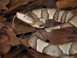Northern Copperhead (Agkistrodon Contortrix Mokasen), Captive Photographic Print by Michael Kern