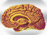 A Mid-Sagittal Section Showing the Right Half of the Human Brain, Brainstem, Midbrain Photographie par Ralph Hutchings