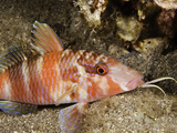Manybar Goatfish (Parupeneus Multifasciatus), Hawaii, USA Photographic Print by David Fleetham