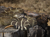 Southern Pacific Rattlesnake (Crotalus Oreganus Oregnaus), Captive Photographic Print by Michael Kern