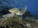Green Sea Turtle (Chelonia Mydas) Swimming over a Coral Reef, Sipidan Island, Malaysia Photographic Print by David Fleetham