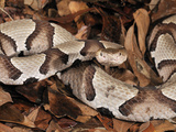 Southern Copperhead (Agkistrodon Contortrix), Captive Photographic Print by Michael Kern