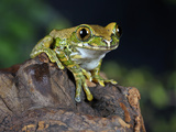 Peacock Tree Frog (Leptopelis Vermiculatus), Captive Photographic Print by Michael Kern