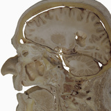 The Human Head and Brain in Sagittal Section Revealing the Position of the Brain, Brainstem Photographic Print by Ralph Hutchings