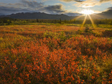 Sunrise over the Crimson Dwarf Birch Tundra, Denali National Park, Alaska, USA Photographic Print by Patrick Endres