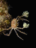 The Endemic Hawaiian Pom-Pom Crab (Lybiedmondsoni) Is Associated with Sea Anemones (Triactis) Photographic Print by David Fleetham